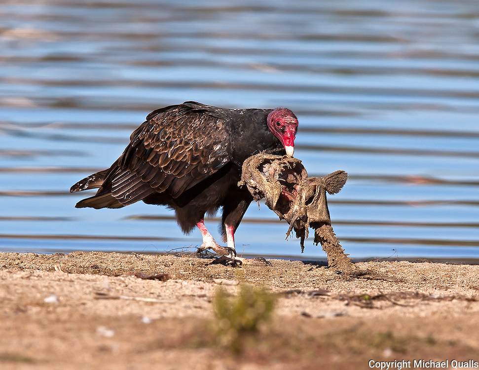 Turkey Vulture and Carrion