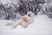 Canada. Manitoba. Cape Churchill. Polar bear (Ursus maritimus).