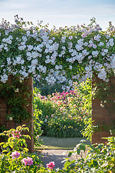 Rosa 'Adelaide d'Orleans' AGM trained along a wall