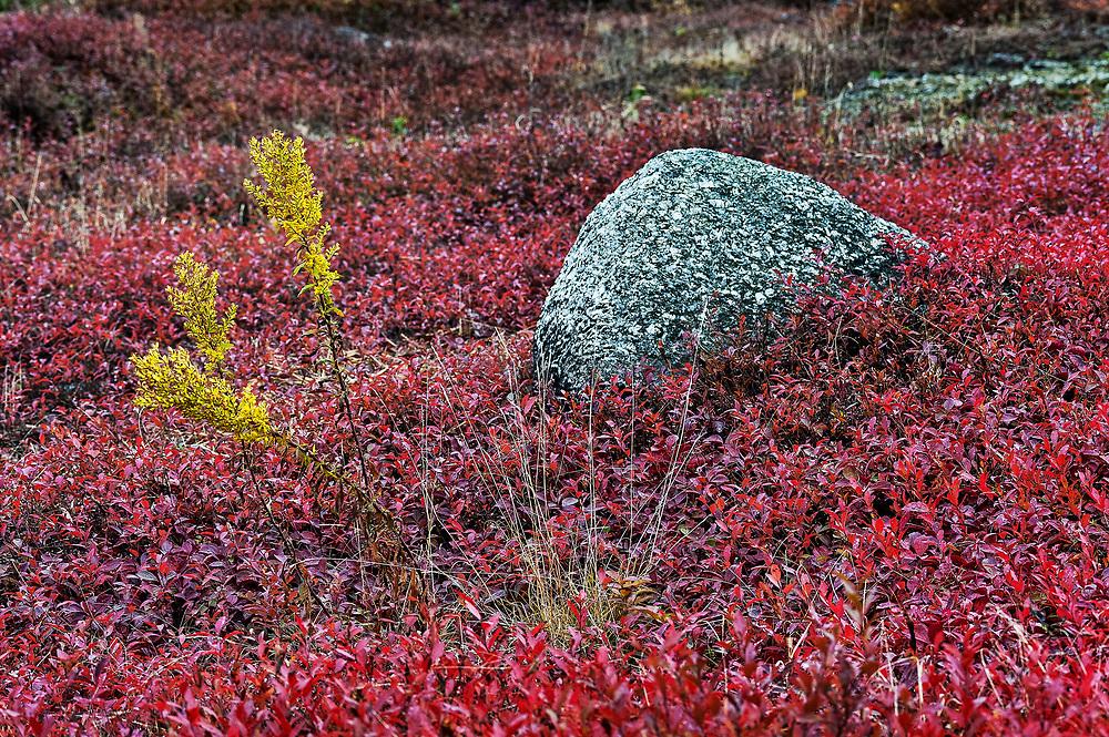 Autumn blueberry field, Maine, ME, USA