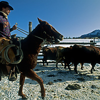 WYOMING. Rob Hart (MR) herds cattle on B-4 Ranch near Cooke City & Yellowstone.