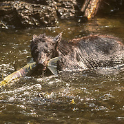 Black and brown bears congregate at the salmon spawning streams during salmon to gorge themselves on the bounty of fish choking the rivers. They always squeeze out the eggs with their jaws to extract the protein-rich eggs. I found black bears to be much more of a problem than brown bears because they were much bolder, and certainly very persistent trying to get to my food. On one occasion I climbed a tree and hung some dry bags out along a branch over the river as far as I could reach, but a black bear managed to climb up the tree, and reach out far enough to use its powerful paw and sharp claws to rip the dry bag away from the heavy-duty nylon webbing sealing the bag. Black bears (Ursus americanus) are the most abundant and widely distributed of the three species of North American bears. An estimated 100,000 black bears inhabit Alaska. The black bear is the smallest of the North American bears. Adults stand about 29 inches at the shoulders and are about 60 inches from nose to tail. Males are larger than females, and weigh about 180-200 pounds in the spring. They are considerably lighter when they emerge from winter hibernation and may be about 20 percent heavier in the fall when they're fat. Black bears can vary in color from jet black to white. Black is the color encountered most frequently across the state, but brown or cinnamon-colored black bears are sometimes seen in Southcentral Alaska and on the southeastern mainland. Cinnamon-colored black bears are also common in Alaska's Interior. Some bluish-colored bears called glacier bears may be found in the Yakutat area and in other parts of Southeast Alaska. Black bears often have brown muzzles and some also have a patch of white hair on their chest.<br /> Black bears are most easily distinguished from brown bears by their straight facial profile and their claws, which rarely grow more than 1 ½ inches in length. Black bears have adequate sense of sight and hearing, but have an outstanding sense of smell.