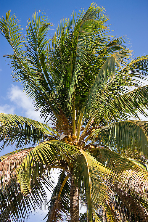 Royal Palm tree, Roystonea coconut palm, in South Beach, Miami, Florida, United States of America