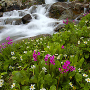 Wildflowers bloom in American Basin, Colorado near a stream during the summer.