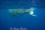 humpback whale, Megaptera novaeangliae, calf rubs playfully against mother's rostrum, Vava'u, Kingdom of Tonga, South Pacific