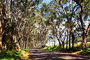 Swamp Mahogany, Tree Tunnel, Koloa, Poipu, Kauai, Hawaii