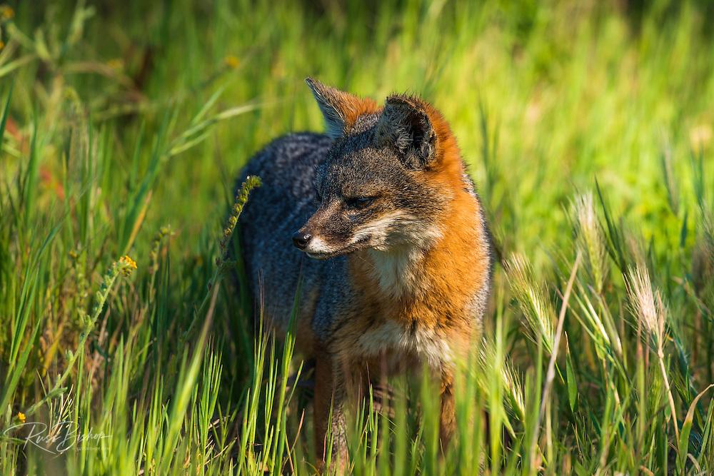 Channel Island Fox (Urocyon littoralis), Santa Cruz Island, Channel Islands National Park, California USA