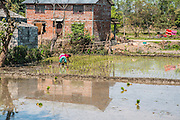 Woman plants rice in a rice paddy. Photographed in Chitwan national park, Nepal
