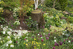 Fritillaria meleagris and Erythronium californicum 'White Beauty' growing with hellebores and daffodils in John Massey's dell garden