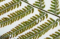Zachte naaldvaren, Polystichum setiferum