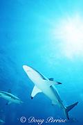 blacktip shark, Carcharhinus limbatus, Walker's Cay, Abaco Islands, Bahamas ( Western Atlantic Ocean )