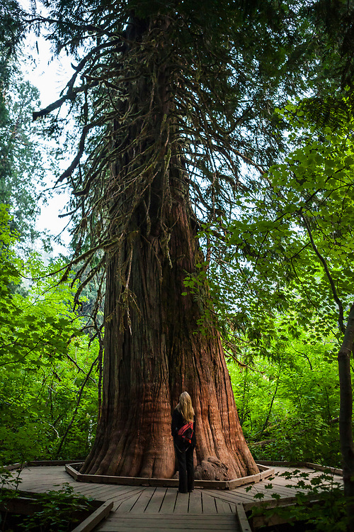 A blond woman with her back to camera looking up at a large cedar tree in the Grove of The Patriarchs in Mount Rainier National Park, Washington State, USA.