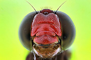 """BATAM, INDONESIA - JUNE 22: <br /> <br /> Insect super macro close up taken by photographer  Muhammad Roem in Batam, Riau Islands Province, Indonesia. <br /> <br /> Muhammad Roem specialize's in insects. """"Macro photography taught me how to recognize shapes and insect face. The face of the little insects that are unique and there unusual look<br /> <br /> Photo shows; Dragon fly<br /> ©Muhammad Roem/Exclusivepix Media"""