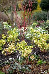 Helleborus x hybridus Ashwood Garden hybrids planted with snowdrops, crocus and cornus