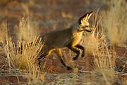 Bat-eared fox (Otocyon megalotis) | Nachdem die heißesten Stunden des Tages verschlafen wurden, beginnt für die Löffelhunde (Otocyon megalotis) in den frühen Abendstunden wieder eine aktive Phase. Noch bevor die Familie zum Jagdausflug aufbricht, werden mit Sozialverhalten und Spiel die Beziehungen zwischen den Gruppanmitgliedern gefestigt. Der Nachwuchs, wie dieses drei Monate alte Jungtier, kann bei dieser Gelegenheit spielerisch Ausdauer und Geschicklichkeit lernen.