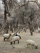 Sheeps in a forest. In Shimshal, one of the remotest village in the Karakoram mountains, and the highest settlement in the Hunza and Gojal region.