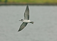 Black Tern - Chlidonias niger - juvenile