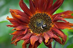 Bee on dark red sunflower. Helianthus annuus
