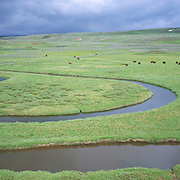 Bison (Bison bison) graze on the open grasslands of Yellowstone National Park as a summer storm approaches.