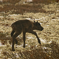 North of the Arctic Circle in Russia, a newborn reindeer calf tries out its shaky legs through lichens on the tundra.