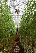 Italia, Toscana, Gavorrano, SFERA , l'azienda agricola a coltivazione idroponica più grande del sud Europa. Sfera is the largest hydroponic farm in southern Europe, focused on cooultivation of tomatoes and several kind of salads , including basel