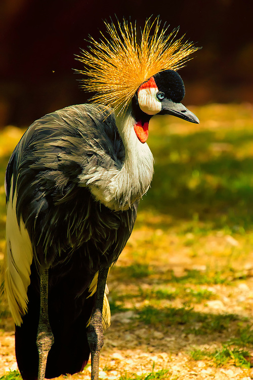"""This bird gets its name from the distinctive golden """"crown"""" of feathers on its head. It lives in open areas and grasslands, where it feeds on grass seeds, insects, frogs and lizards. Crowned cranes usually mate for life. Both the male and female cooperate in building the nest, and in defending the eggs and the chicks. Crowned crane parents often pretend to be injured to lure predators away from their nestlings."""