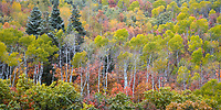 A kaleidoscope of Fall colors near Snowbasin along Trappers Loop Road in Ogden Canyon as a dusting of snow covers the trees.