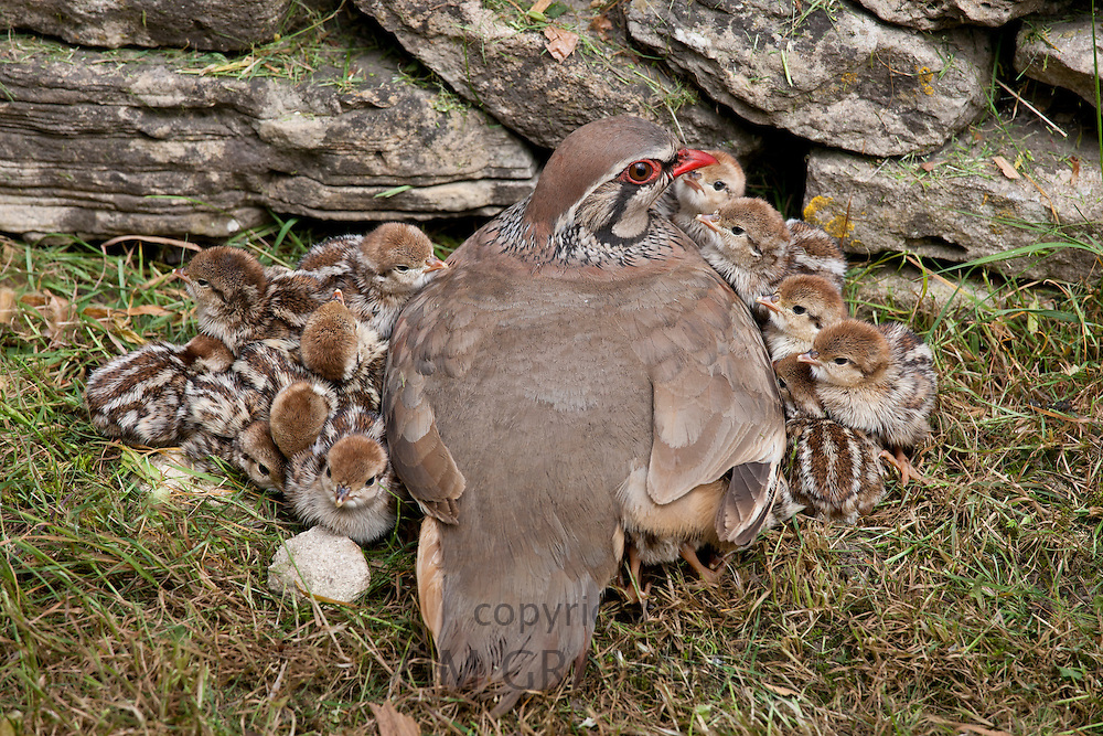 Red-Legged Partridge hen (French Partridge) Alectoris rufa, with newborn chicks, one under wing, The Cotswolds, UK