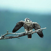Peregrine falcon, (Falco peregrinus) Young bird perched,dead pine, Lake Superior. Spring.