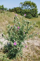 Speerdistel, Cirsium vulgare