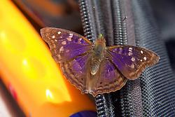 Moth On Camera Bag, Canopy Tower, Tiputini