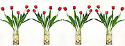 A line of 4 transparent glass vases containing 5 red tulips in each on a white background