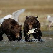 Alaskan Brown Bear (Ursus middendorffi) Cubs fishing and eating salmon. Katmai National Park. Alaska.