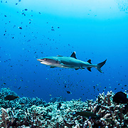 Whitetip reef shark (Triaenodon obesus) swimming along a coral reef in Kimbe Bay, Papua New Guinea.