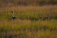 White-naped Crane, Grus vipio, walking on grass with two chicks in Inner Mongolia, China