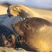 Northern Elephant Seal, (Mirounga angustirostris) Female with newborn pup. Central California.