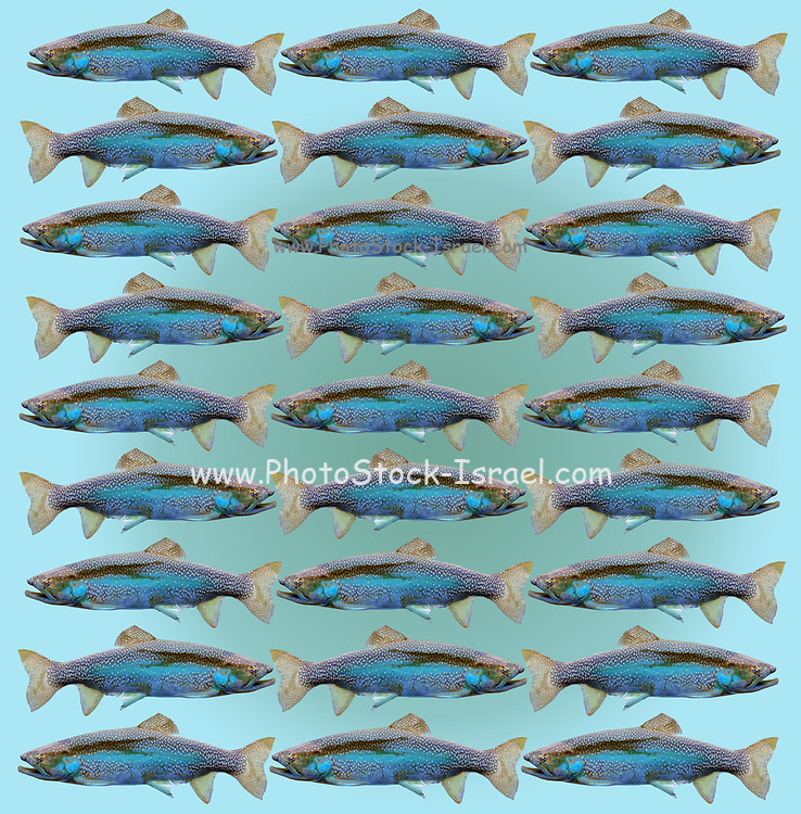 pattern of 27 trout fish in a repeating pattern on aquamarine background