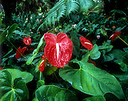 Anthurium flower Hawaii