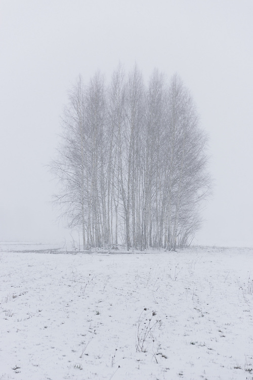 A group of birch trees on snow covered meadow in heavy spring snowfall, Nīcgale, Latvia Ⓒ Davis Ulands | davisulands.com