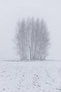 A group of birch trees on snow covered meadow in heavy spring snowfall, Nīcgale, Latvia Ⓒ Davis Ulands | davisulands.com