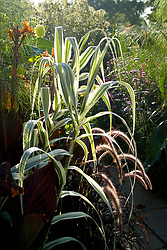 Arundo donax var. versicolor syn. A.donax 'Variegata' with Pennisetum setaceum 'Rubrum' backlit by the early morning light in the Exotic Garden at Great Dixter