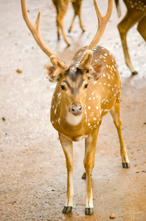 Spotted Deer Chital in Trivandrum Zoo South India
