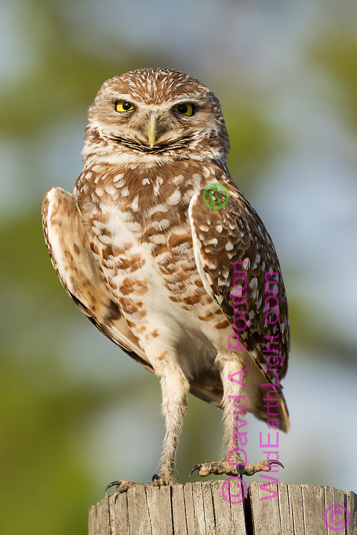 Burrowing owl hunting from a fence post, looking toward observer © 2011 David A. Ponton