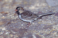 Harris's Sparrow - Zonotrichia querula - non-breeding adult