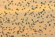 Migratory Starlings at Thames Estuary.  It is feared that Avian Flu (Bird Flu) could be brought to Britain from Europe by migrating birds.