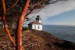 Madrona Tree (Arbutus menziesii) and Lighthouse at Lime Kiln State Park, San Juan Island, Washington, US