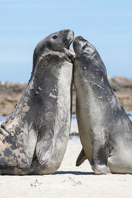 Southern Elephant Seal - Mirounga leonina - Juvenile males rearing and fighting. Falkland Islands