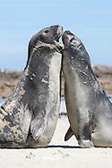 Southern Elephant Seal - Mirounga leonina - Juvenile males rearing and fighting. Falkland Islands