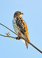 Broad Winged Hawk, sitting on top of a Bahamian almond Tree in South Florida,USA.