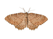 70.121 (1789)<br /> Scallop Shell - Hydria undulata